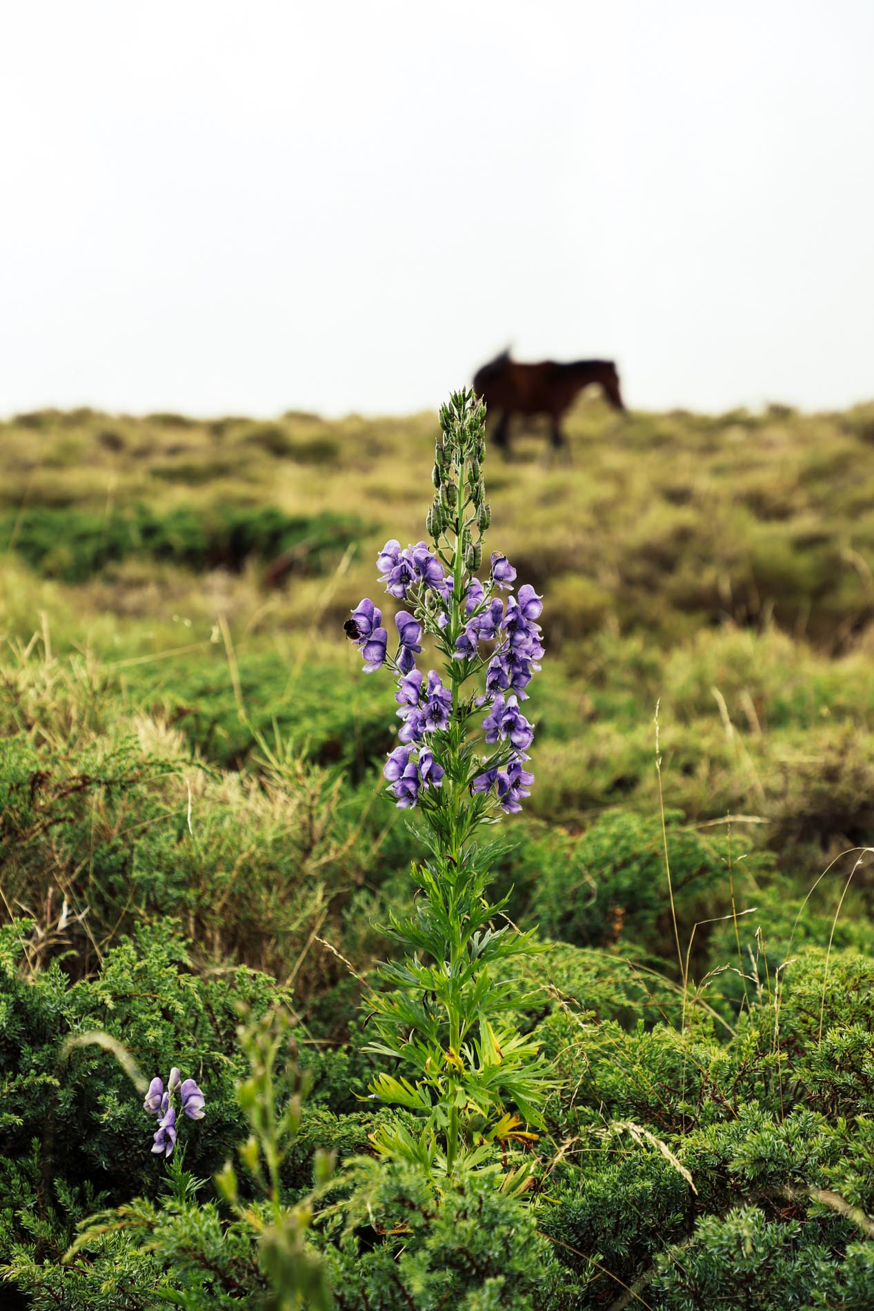 Fleur du Plateau du Coscione