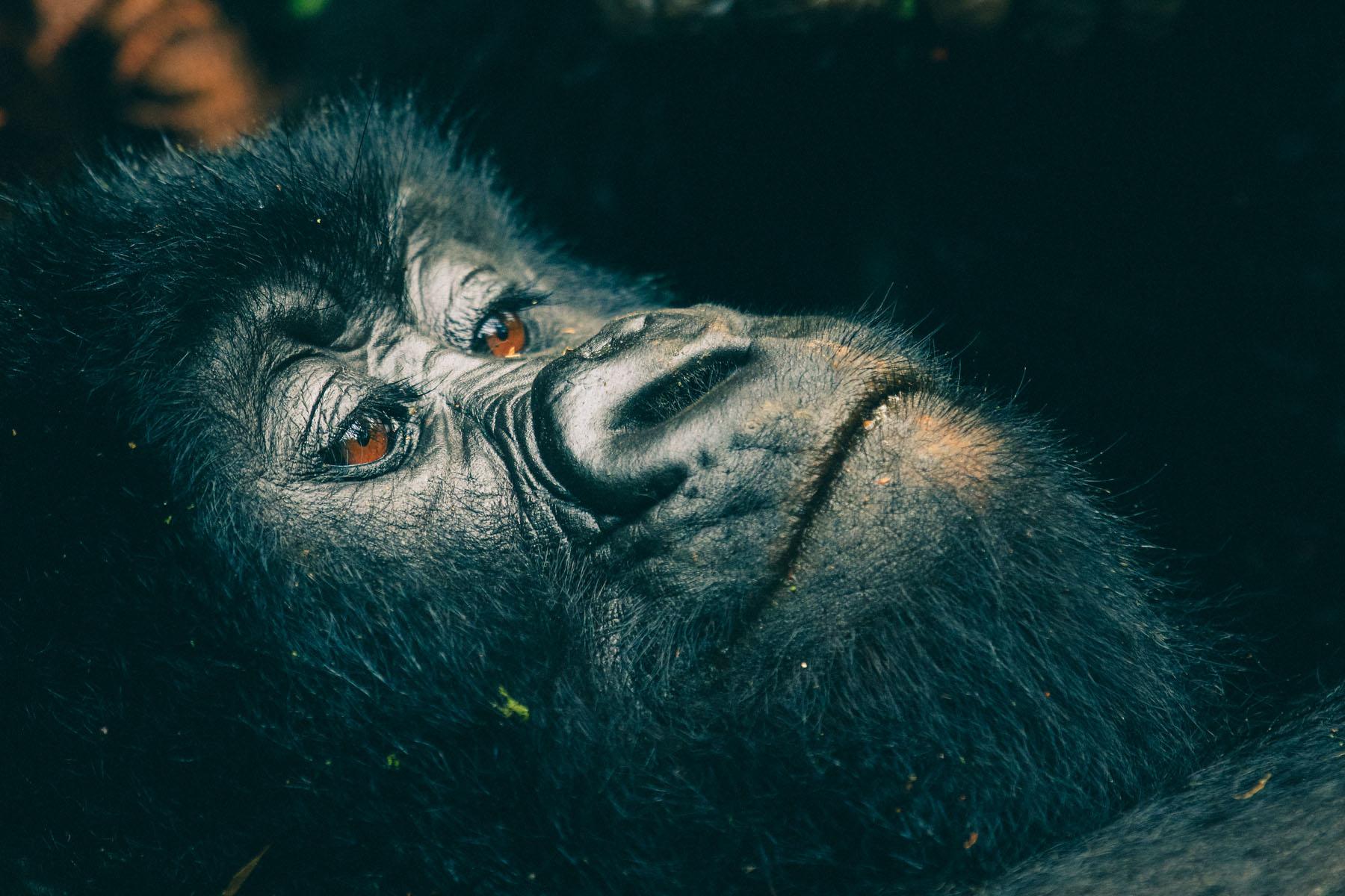 gorilles-kisoro-ouganda