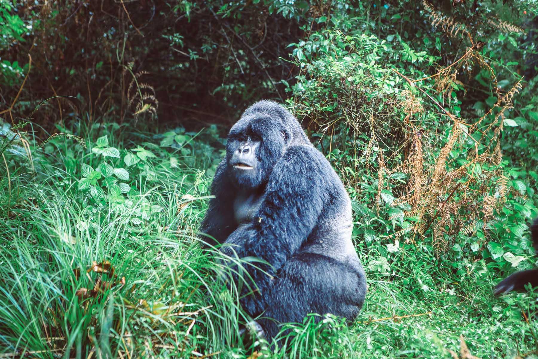 ou-voir-les-Gorilles-en-Ouganda