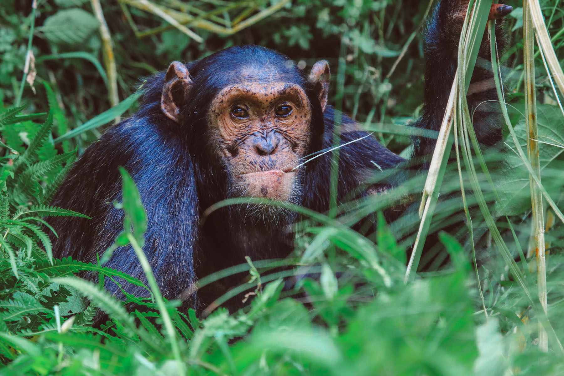 chimpanzes-ouganda