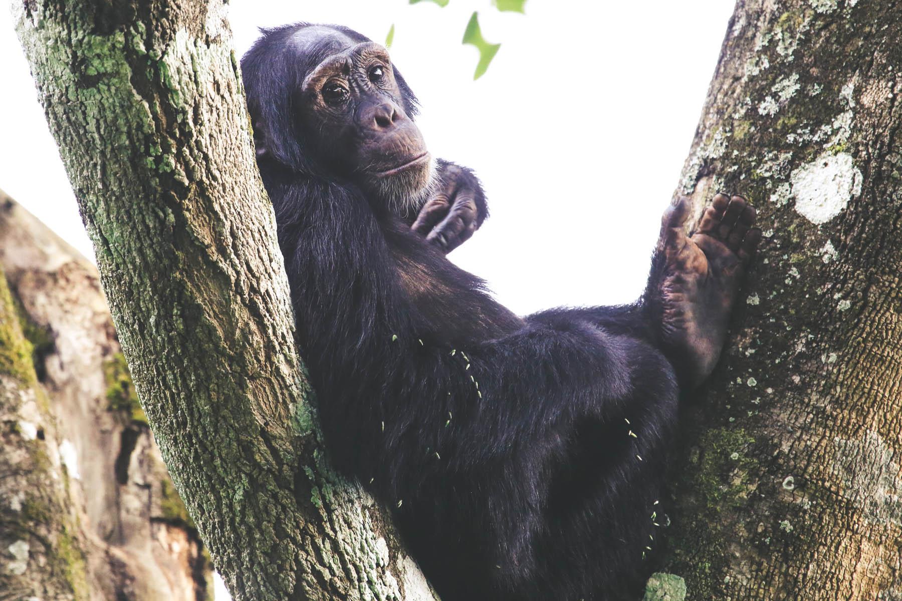 kibale-chimpanzes-ouganda