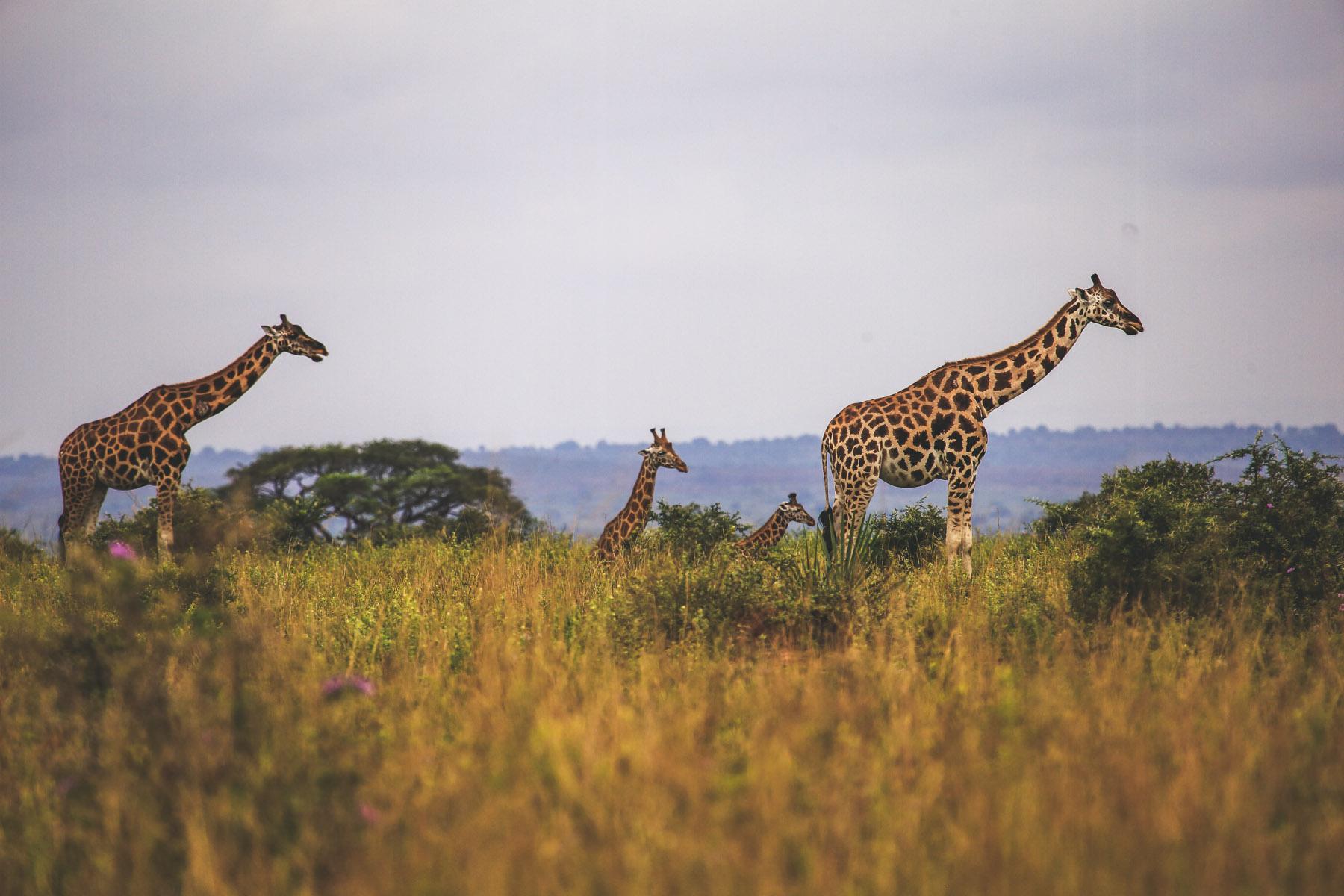 ou-faire-un-safari-en-ouganda