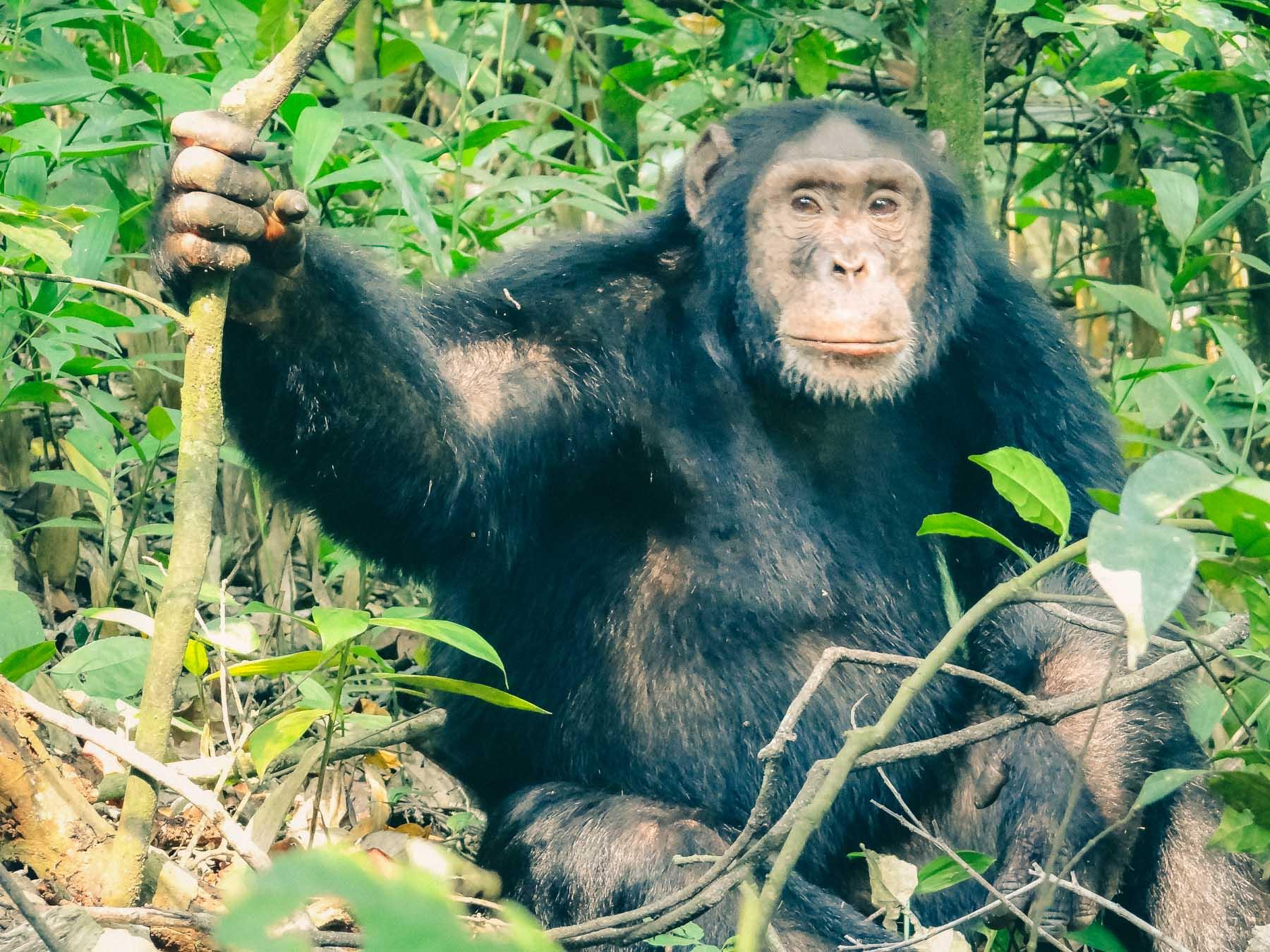 Chimpanze-Rwanda