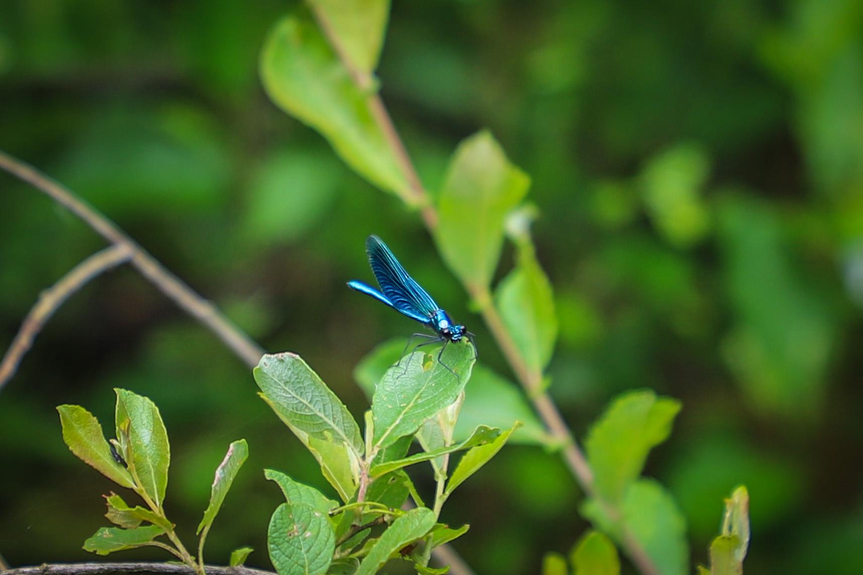 libellule-correze