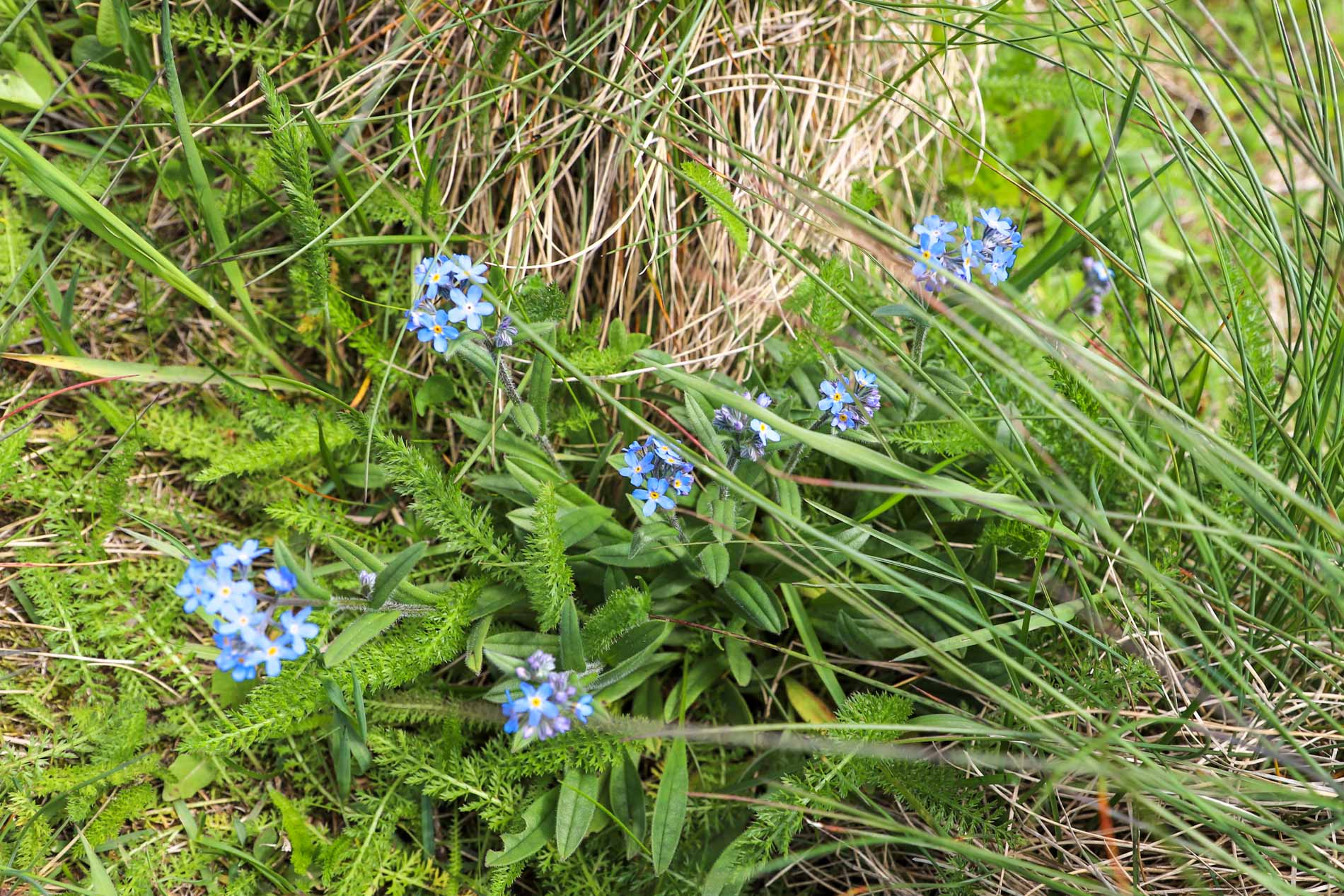 flore-cantal-volcan