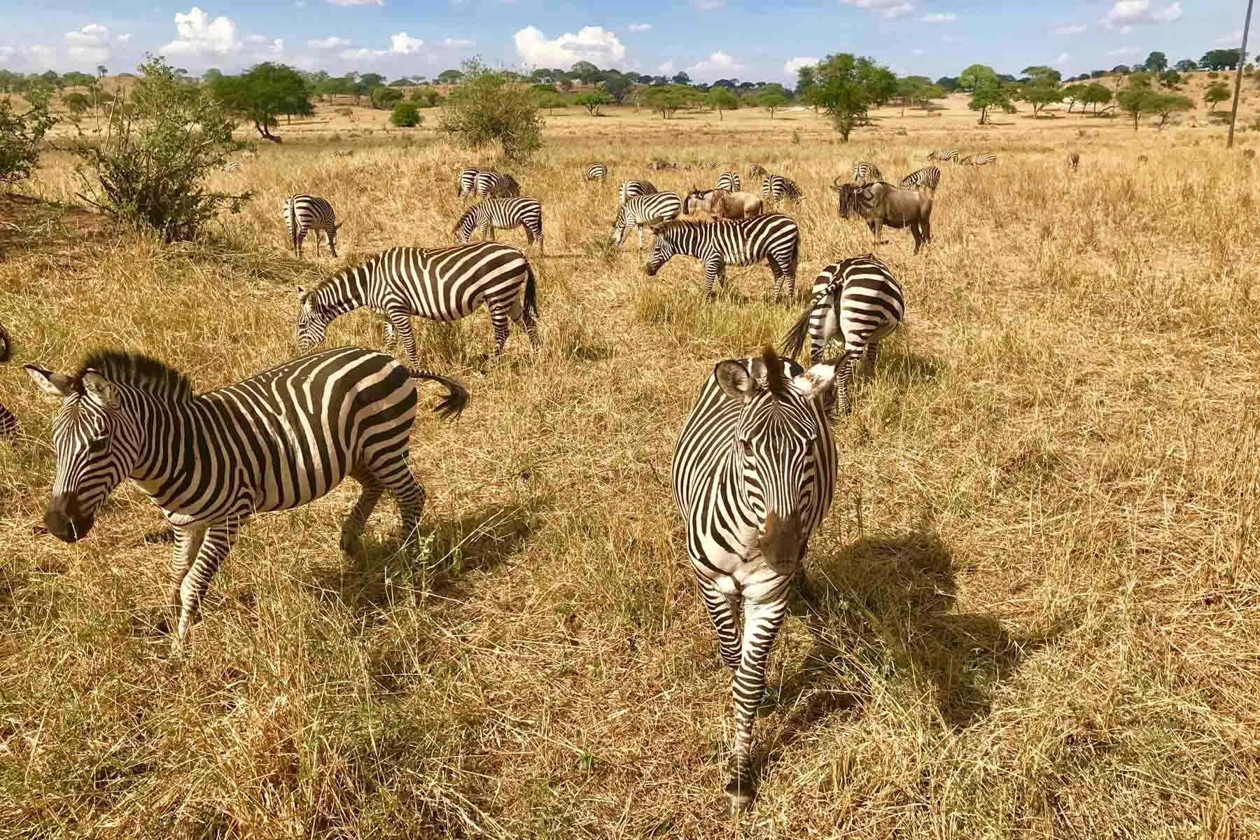 Zebres-Tarangire-Afrique